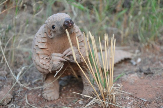 If you donate $10,000 to my horrible anuswater startup you will receive one baby Pangolin.