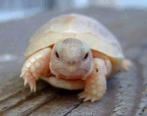 the elusive Scottish ginger tortoise and his characteristic carapace allergic to the sun