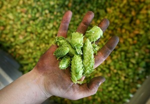 Lagunitas has brazenly announced their intentions to add plant matter to their beers in a matter not unlike iconic Sierra Nevada offerings.